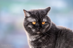 Smoke Cat (Blochmntig) Tags: cats eye cat feline smoke gatto britishshorthair catface blacksmoke cateye catposing yelloweye bkh catinpose