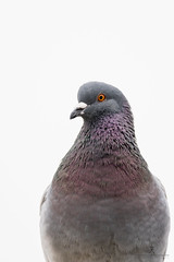 Pigeon Portrait. (Patrick Pohlmann Outdoorfotografie) Tags: bird nature pigeon sony natur ii highkey alpha tamron taube slt usd vogel a77 150600mm