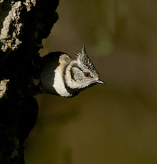 Crested Tit (J J McHale) Tags: bird nature scotland wildlife cairngorms crestedtit crestie