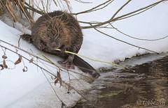 beaver (tobbe_yfj) Tags: rodent beaver castor biber smrgsbord amfibie bver castorfiber nicebeaver ngermanland castoridae gnagare eurasianbeaver majavat landskasdjur ngermanlandslandskapsdjur