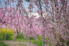Full bloom (tenugui) Tags: pink flower yellow  yamanashi   fullbloom