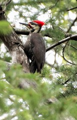 IMG_3365 (2) (qorp38) Tags: red tree bird forest woodland woodpecker fir headed pileated