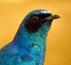 The intimidating look of the royal avian named Burchell's Starling. (Explored) (Ilana Uys) Tags: africa park blue camp black green bird eye face closeup metallic south birding starling explore national kruger satara intimidating dazzling burchells explored