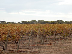 Browning Vines (mikecogh) Tags: brown vineyard vines rows viticulture aldinga