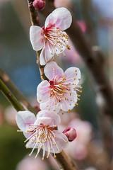 Higashiyama20160221a (FJK80046) Tags: flower plum  ume  aichi   higashiyama   higashiyamabotanicalgarden
