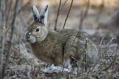 Hare (davejdoe) Tags: wild rabbit bunny nikon hare ottawa 200500 d810 oldquarrytrail