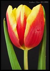 Tulip with black background (zweiblumen) Tags: flower tulip tulipa polariser canoneos50d lumiquestpocketbouncer zweiblumen canonspeedlte430exii movo10mttlcord
