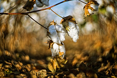 Bokeh-1000 (Eric Mattson) Tags: field rural outdoors prime countryside bokeh farming cotton missouri fixed bootheel petzval