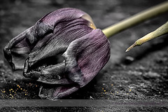 Faded Beauty (Jackie Matthews Photography) Tags: flower nature purple tulip selectivecolour