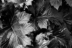 Untitled [EXPLORED - 4/20/16] (momentspause) Tags: blackandwhite bw plant texture flora ricoh ricohgr
