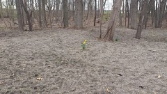 Lonely little daffodil (horsepj) Tags: trees flower yellow bulb spring indiana bloom elkhart narcissus