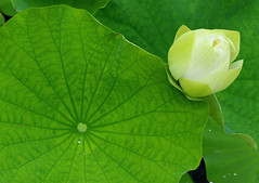 Lily Pad with Bud (Steven W Lum) Tags: waterlily waterlillies