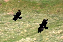 Choughs flying low (karen leah) Tags: chough