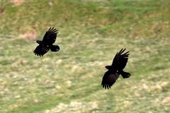 Choughs flying low (karen leah) Tags: chough