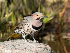 Yellow-shafted Northern Flicker (Nick Saunders) Tags: male spring woodpecker flicker northernflicker yellowshafted
