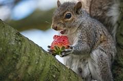 Hehe it's mine (sasastro) Tags: strawberry squirrel