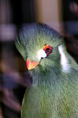 Cap'n Bird's Eye (Jon_Wales) Tags: england green bird zoo somerset turaco ark noahs plumage