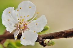 DSC_0095 (szlatajulia) Tags: trees white plant flower macro tree spring blossom outdoor apricot