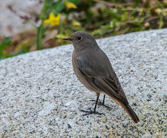 Black Redstart (ijw20032000) Tags: october scilly 2015