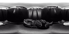 sunday is eating day. (109/366) (severalsnakes) Tags: pet composite ball frozen rat reptile snake 360 eat missouri python feed serpent ricoh spherical degrees theta sedalia thetas theta360 saraspaedy frodent
