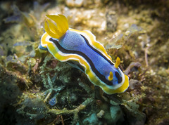nudi2 (HongKongPhooey2009) Tags: ocean life blue sea fish glass animal coral puerto shark boat marine asia seahorse ship underwater dolphin philippines crab shrimp scuba diving anemone octopus eggs whale nudibranch cuttlefish sponge galera mindoro seastar tunicate