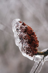 Sumac in ice (laurencharman) Tags: winter plants snow cold ice nature hamilton sumac fade dundas wildfood foraging