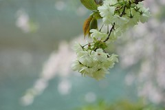 ()/Prunus lannesiana cv.Grandiflor (nobuflickr) Tags: flower nature japan kyoto      kamogawariverhananokairou  prunuslannesianacvgrandiflor 20160409dsc06721