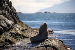 Fur Seal (Arctocephalus australis) - Ushuaia, Argentina (pas le matin) Tags: ocean voyage travel sea wild patagonia argentina argentine animal canon tierradelfuego ushuaia eos outdoor seal 5d canon5d otarie furseal amriquedusud soutamerica arctocephalusaustralis otariefourrure canoneos5dmkiii