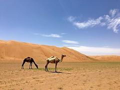 Weekend04232016 (lauwen66) Tags: desert camel oman wahiba