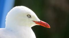 Paraparaumu Beach Gull Portrait (JayVeeAre (JvR)) Tags: bird animal seagull gull picasa3 johnvanrooygmailcom johnvanrooy gimp28 canonpowershotsx60hs johannesvanrooy httpwwwflickrcomphotosjayveeare httpwwwpanoramiocomuser1363680