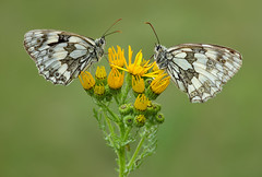 Marbled Whites, South Downs (Alan MacKenzie) Tags: summer macro nature butterfly sussex unitedkingdom wildlife butterflies