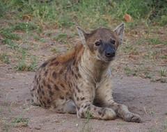 Hyena (little_duckie) Tags: africa southafrica buffalo zebra cheetah giraffe impala hyena rhinoceros krugernationalpark kruger gamedrive kudu bushbuck