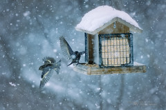 You Shall Not Pass (Thousand Word Images by Dustin Abbott) Tags: ca blue winter snow ontario canada storm bird pembroke photography bokeh review comparison petawawa 2016 photodujour apsc canoneos80d cropsensor thousandwordimages dustinabbott dustinabbottnet adobephotoshopcc canonef100400mmf4556lisusmii adobelightroomcc alienskinexposurex