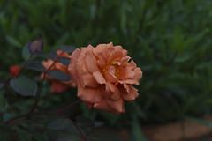 _DSC2026 (Osamu1965) Tags: flower japan zeiss garden spring sony contax jp   okayama     a7m2  carlzeissvariosonnart2870mmf3545mm
