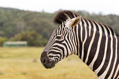 Burchell's Zebra (charissadescande) Tags: nature animals southafrica outdoor wildlife naturereserve zebra za easterncape portelizabeth gamereserve burchellszebra gamedrives wildlifeconservationpark