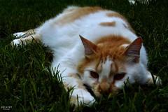 074 (guadx) Tags: naturaleza cats pets green nature animal nikon gatos felinos mascotas d3200