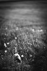 digging deep (mamuangsuk) Tags: dog chien cane jrt meadows perro hund jackrussell dig prt cau 6d creuser mulot parsonrussellterrier diggingdeep ef135f2l mamuangsuk lebonheurestdanslepre