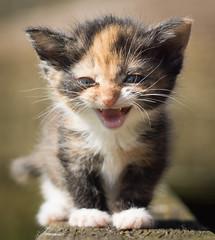 Kitten (Cimber_Photos) Tags: animal denmark kitten