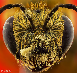 Small bee head, full of pollen