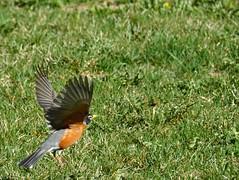 ROBIN  IN TAKEOFF..... ROUGE GORGE EN DCOLLAGE (Bob (sideshow015)) Tags: nature robin birds rouge spring nikon 7100 gorge takeoff oiseau dcollage d7100