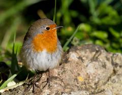 The Early Bird (Mukumbura) Tags: morning bird nature robin sunshine rock garden erithacusrubecula warmth europeanrobin earlybird
