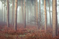 Tunstall forest (binliner) Tags: trees mist fog pine forest sunrise canon woodland suffolk woods odd misfit fir splittone tunstallforest 5dmkii