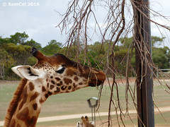 Monarto Zoo - Giraffe (samcol6) Tags: nature animals lumix zoo sam south australia panasonic giraffe col 2016 monarto fz150 samcol6