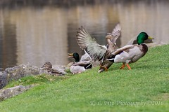 One In Every Crowd (kevnkc2) Tags: park county duck spring pond nikon pennsylvania contemporary ducks sigma cumberland lightroom shippensburg d610 stdntsdoncooper 150600mm 150600f563