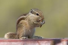 Ardilla de Palma Nortea (ik_kil) Tags: india mammal squirrel keoladeo keoladeonationalpark fivestripedpalmsquirrel funambuluspennantii rajasthn northernpalmsquirrel ardilladepalmanortea