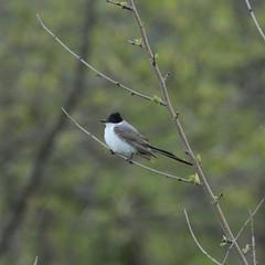 Fork-tailed Flycatcher, Assunpink WMA, Allentown, NJ 4/30/16 (Larry Scacchetti) Tags: