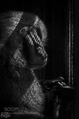 Lonley Baboon (southjerseseyhvac) Tags: lighting camera trip travel portrait bw white black art photoshop canon out lens photography zoo photo amazing alone zoom good cage saudi arabia baboon kuwait