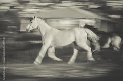 _DSC8773 (Izaias Lus) Tags: brasil caballos photography photographie cavalos equestrian equine nordeste chevaux equino haras equestre garanhunspe