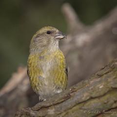 Red Crossbill (Turk Images) Tags: winter birds backyard edmonton alberta fringillidae redcrossbill loxiacurvirostra perchingbirds recr