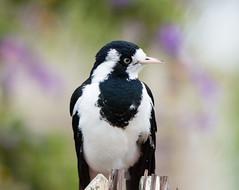 female magpie lark (blinsaff) Tags: bird nature birds animal nikon native wildlife australia magpie tamron peewee lark d600 150600mm